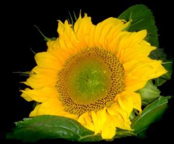 symbolisme fleur tournesol � id233e dimage de fleur